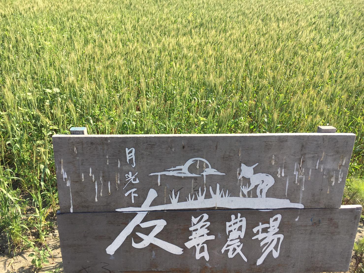 重新在麥寮長起的小麥(圖片提供/月光山友善農場)