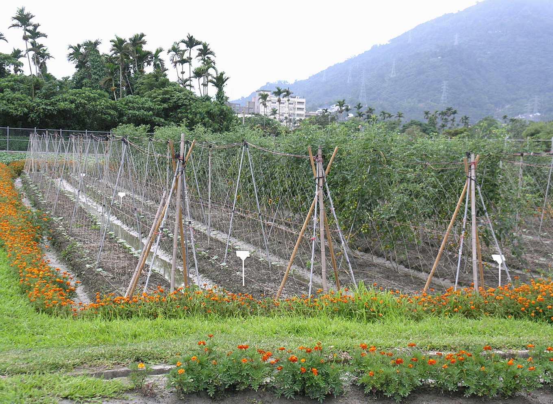 孔雀草種植田區四周提供天敵有益的棲息地(圖片提供/花蓮農改場)