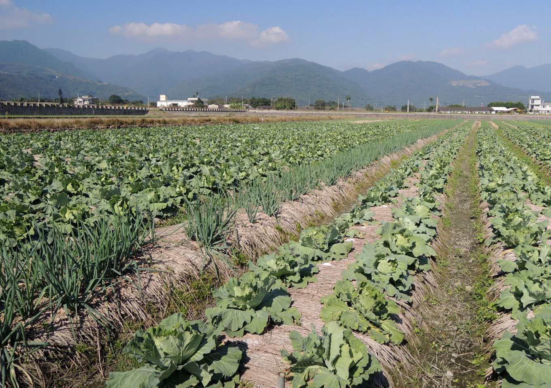 甘藍園畦間間作蔥類為常見的做法 (圖片提供/花蓮農改場)