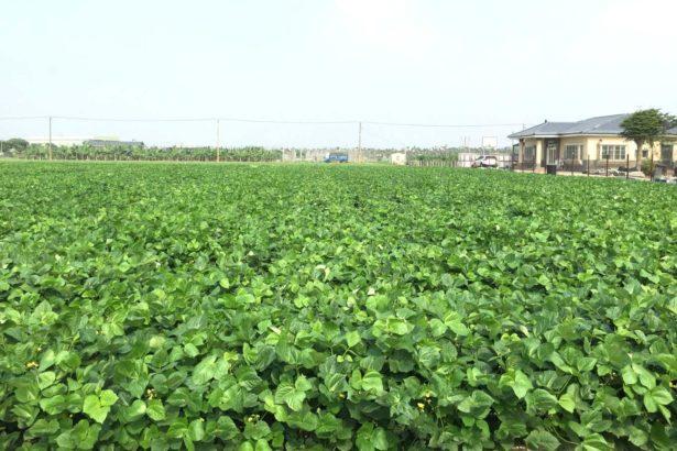 紅豆播種量每公頃70公斤開花結莢期田間生育情形
