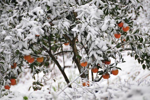 忽然來的霸王寒流凍壞橘子,目前是靠天災補助,沒有農業保險(圖片來源/古少騏臉書)