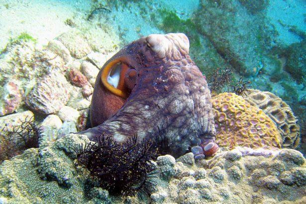 小琉球美人洞外海 -Octopus cyanea 藍章(攝影/李坤瑄)