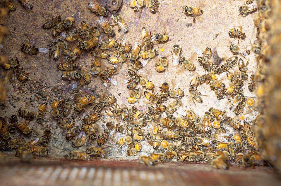 埔里蜂況(圖片提供/中部蜂農)