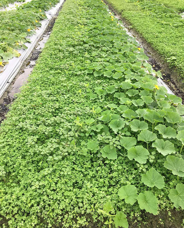 白花三葉草的葉片水平伸展,能有效地覆蓋地面,抑制雜草滋生(圖片提供/花蓮農改場)