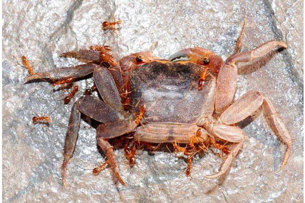 墾丁陸蟹糟黃蜂蟻大量侵襲(圖片提供/古清芳)