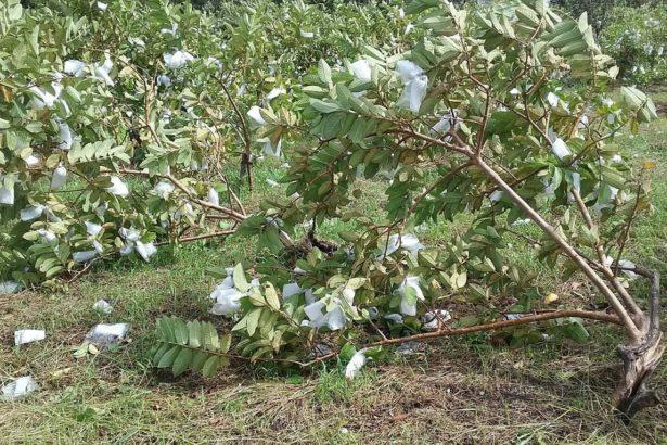 颱風造成番石榴受損嚴重,枝條受傷(圖片提供/頭城農會提供)
