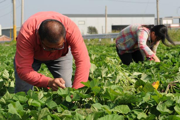 【公民寫手】當地瓜小農遇上食品大廠,農食間的協力合作