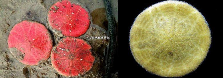 左圖--雷氏餅海膽做成標本前呈紅色(攝影/洪清漳,圖片提供/李坤瑄),右圖--雷氏餅海膽做成標本後呈黃綠色(圖片提供/李坤瑄)