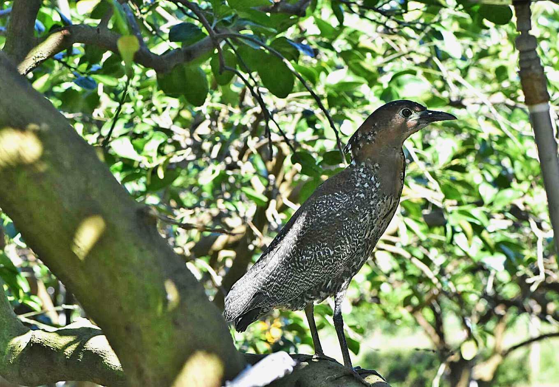 草毯來了之後,意外發現了黑冠麻鷺。(興瑞文旦提供)