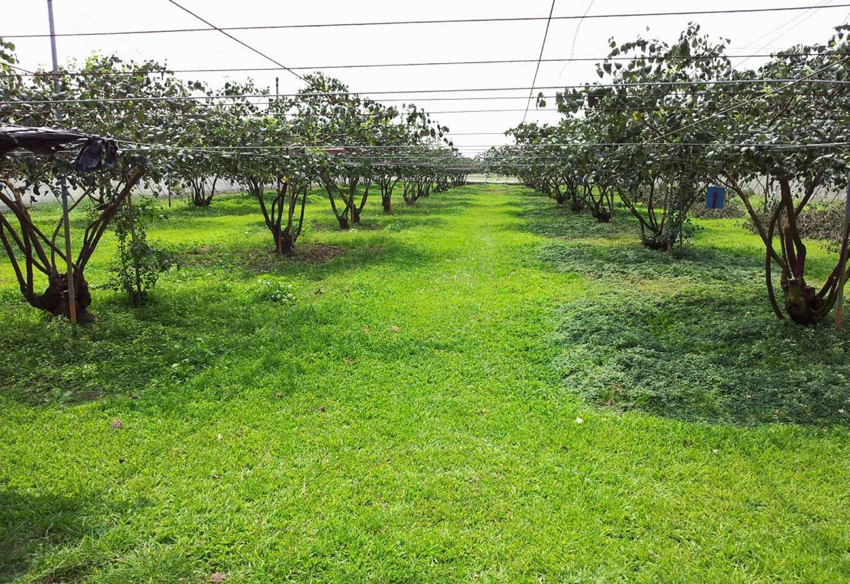 草生栽培改善土壤性質及水土保持(圖片提供/高雄農改場)