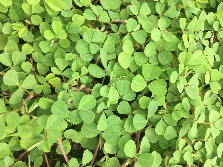 蠅翼草是豆科作物,可匍匐平鋪土面,植株高度低。(圖片提供/台中農改場)