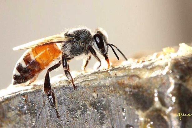 小蜜蜂(吳國源提供)