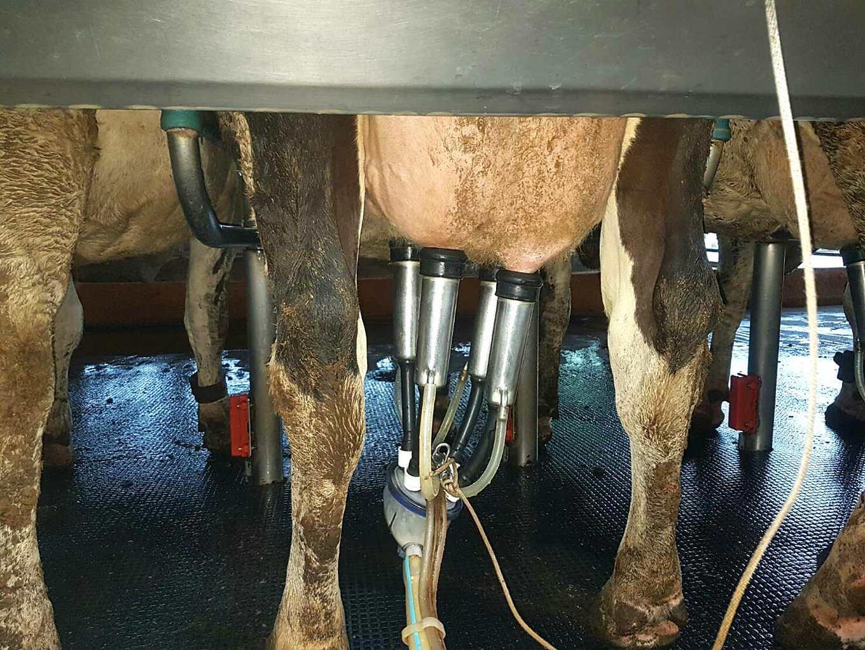 乳牛正用人工擠乳機擠(圖片提供/中國生產力)