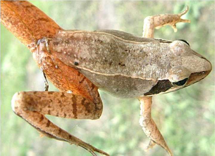 日本林蛙(圖片提供)