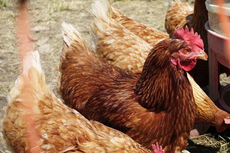 雞是群居動物,有牠們的社會行為模式(攝影/鄭傑憶)