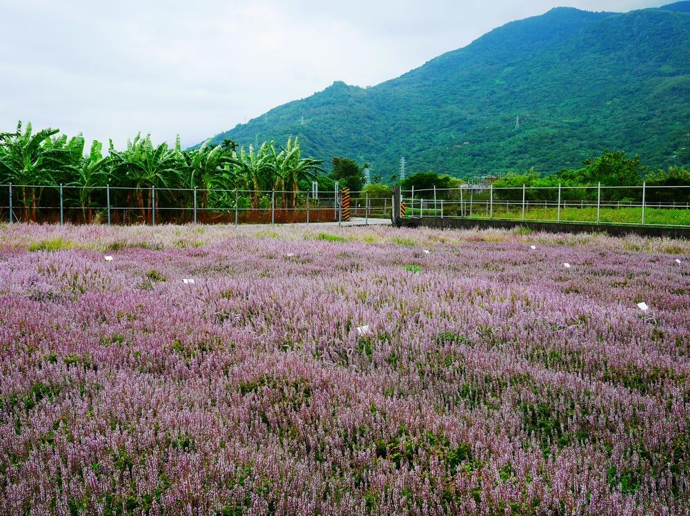 仙草開花彷若紫紅色的雲彩(圖片提供/花蓮農改場)