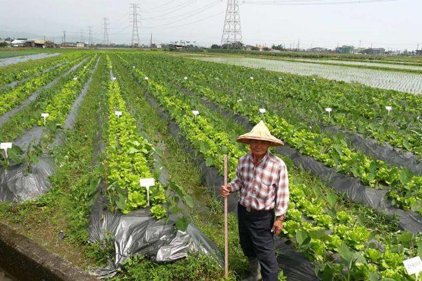 一地兩收!有機檳榔心芋+福山萵苣一起種,不用加肥長的都好