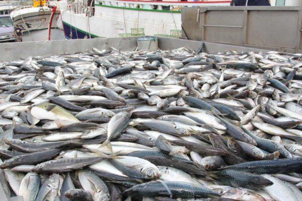 體型越來越小的鯖魚(圖片提供/林愛龍)