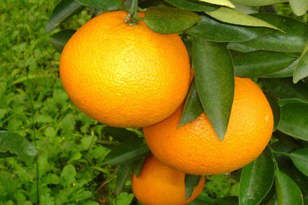 新興柑桔品種Ortanique(圖片提供/花蓮農改場)