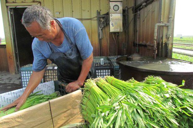 洗菜中的空心菜農。(攝影李慧宜)