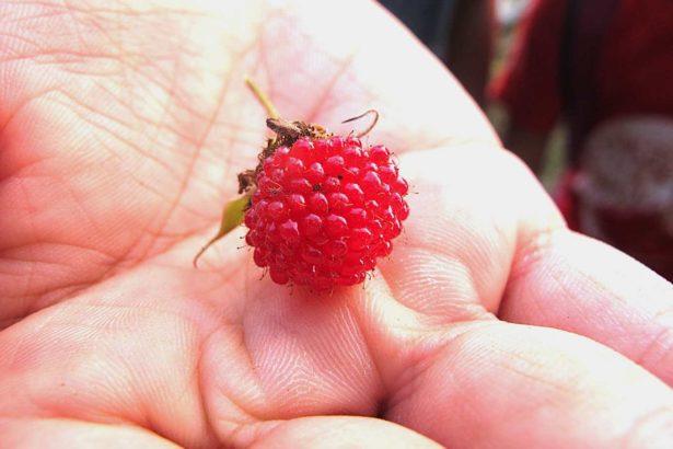 邱靜慧/掛紙時節,拜託竹雞幫忙採野莓