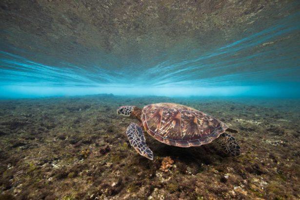 小琉球綠蠵龜眾多,讓國外旅客驚豔。(Peggy Chiang江斾錡提供)