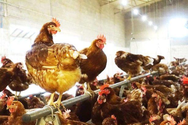 義大利有機放牧雞蛋,通過市場考驗還能外銷,營收、食安、動物福利三者兼顧