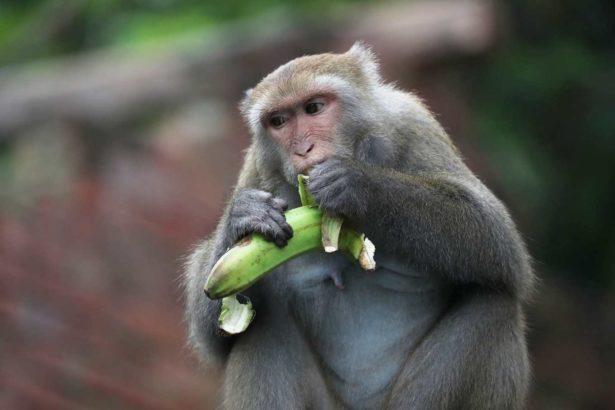 台灣彌猴(攝影/柯金源)