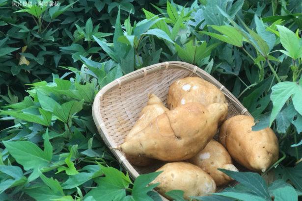 【公民寫手】旅人食通信/台灣精神農作物 「番薯」身世大解密