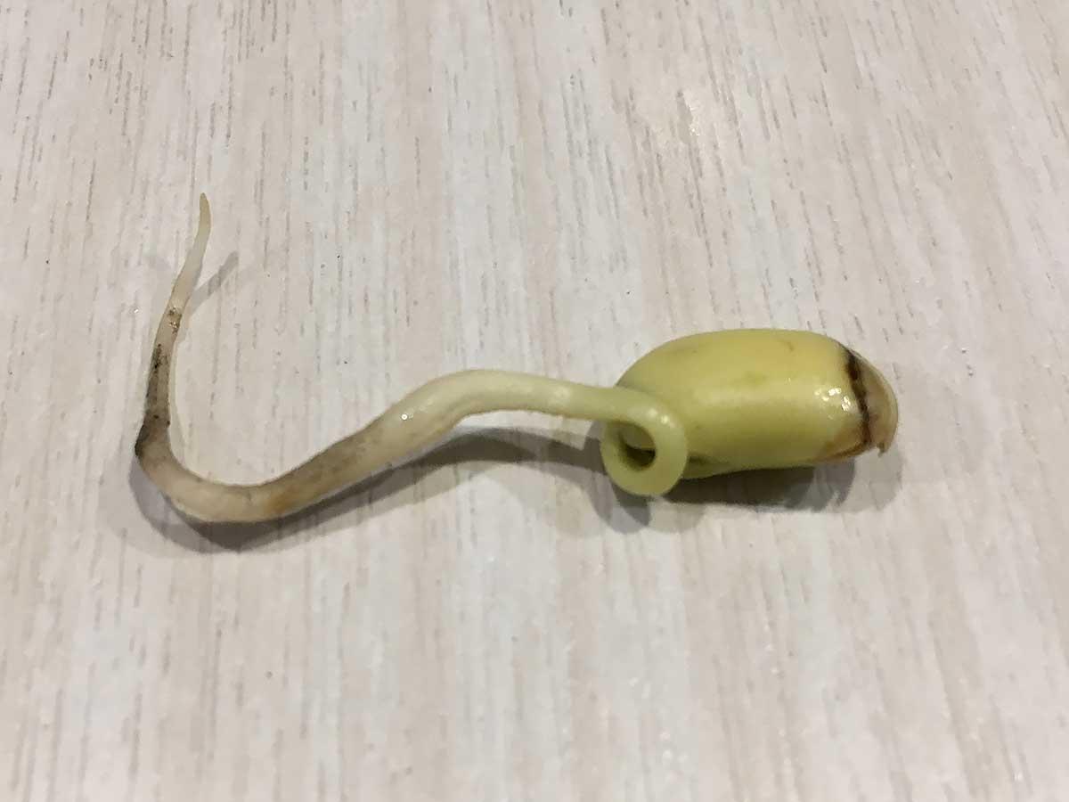 拾獲發芽三公分的黃豆。(攝影/蔡佳珊)