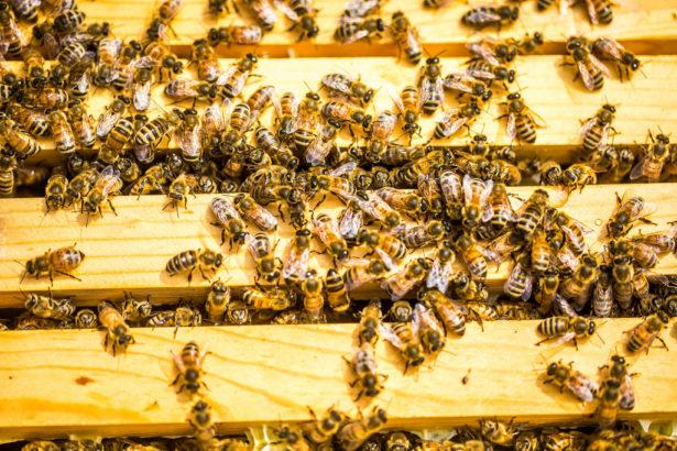歐盟最終決議,禁用類尼古丁農藥救蜜蜂│田間全面禁用益達胺等三種殺蟲劑