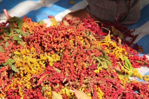 紅藜外殼色彩鮮豔,穀物營養,成為近年熱門作物(攝影/周麗鈞)