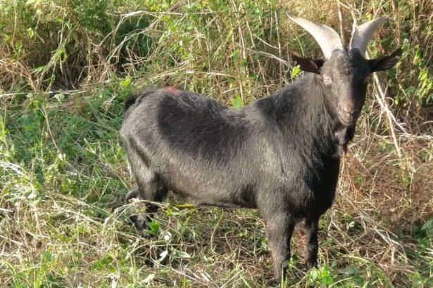本土黑山羊超強!五隻羊一個月吃掉一公頃有毒銀合歡,健康活跳跳