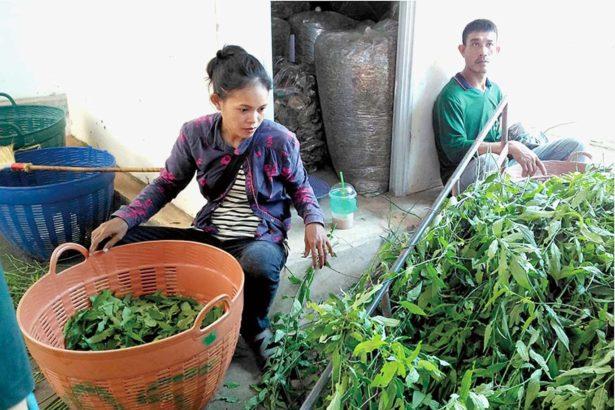 藥草生產所需要的勞動力幾乎都來自社區(攝影/張正揚)