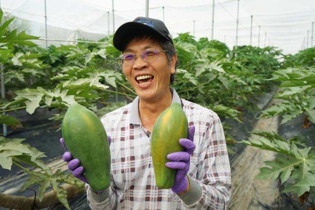 木瓜農友努力栽培的心血(圖片來源/透南風)