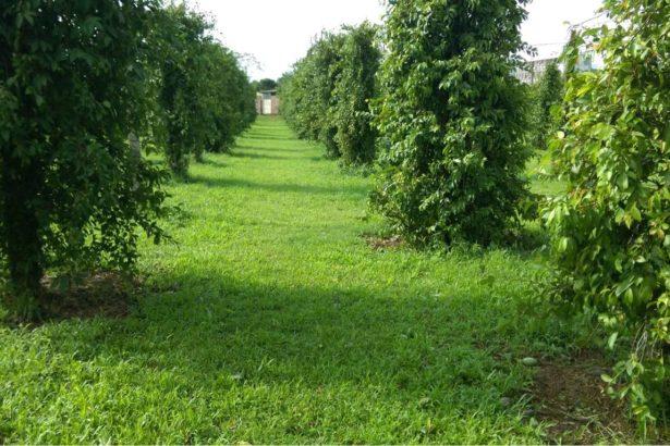 苗改場選育出適合在平地種植的愛玉子品種。(圖片來源/苗改場)