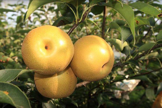 梨子大小適當