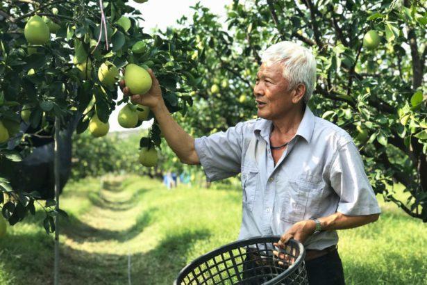 令人驚艷的台南文旦果園!半數柚農草生栽培,綠意盎然果實加倍甜美