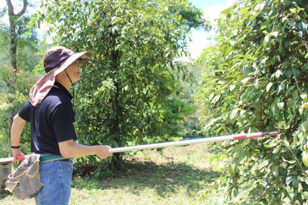 巡園時,要剪去過長枝條,讓植株得到充足光照。(攝影/林珮君)