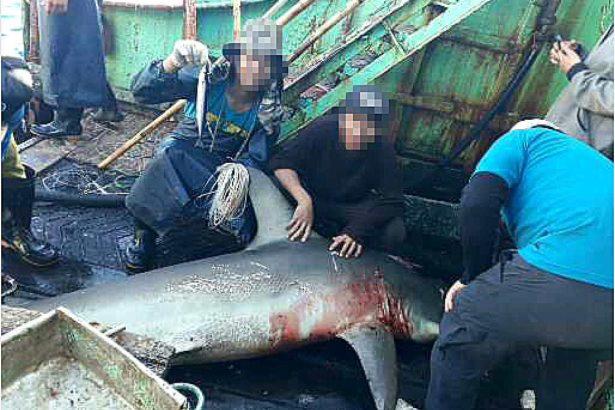 正被肢解中的鯊魚(圖片提供/EJF基金會)