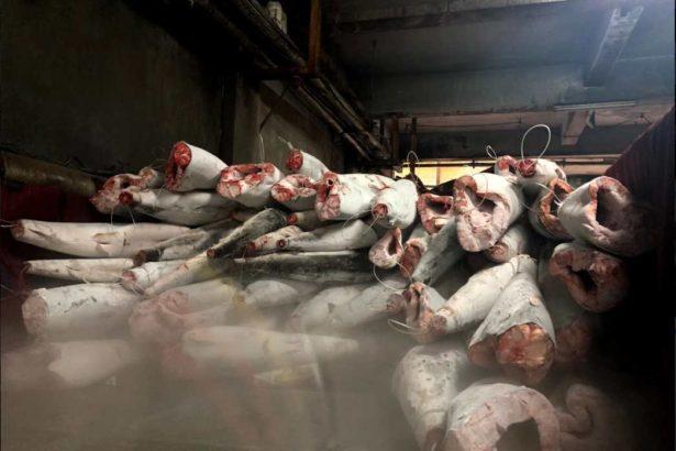 黑鯊漁獲已於船上處理後冷凍保存(圖片提供/漁業署)