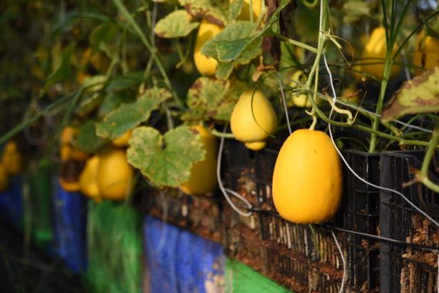 《雲林食通信》夏季刊的主角是近年來已逐漸消失的梨仔瓜。(攝影/謝宜哲)