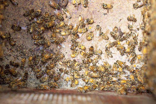 去年埔里蜜蜂中毒蜂況,非今年當事照片(圖片提供/中部蜂農)