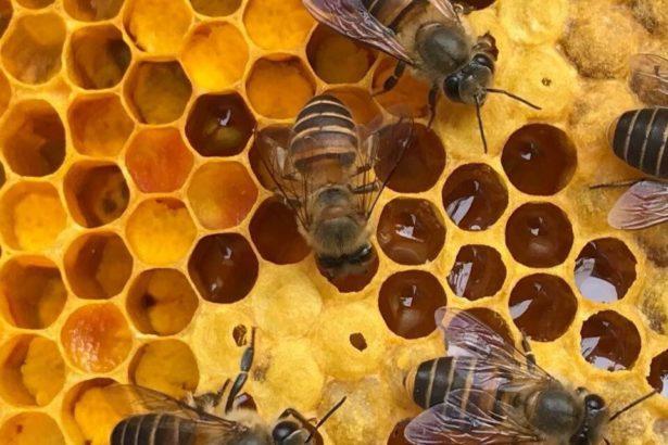 治療過後健康的中蜂(陳怡伶提供)
