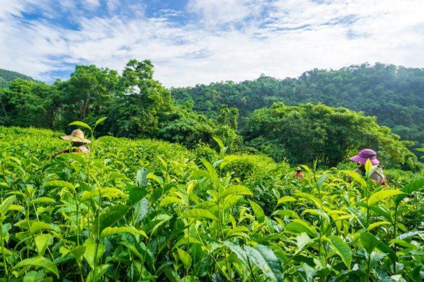 【公民寫手】品一口土地的芳香 有機茶
