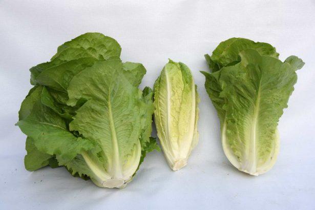 國產的蘿蔓萵苣,左為植株、中為摘除除外葉後的蘿蔓心、右為蘿蔓心剖面(圖片提供/謝明憲)