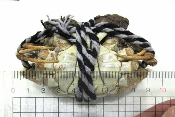 中國輸台大閘蟹戴奧辛超標高達兩成!業者偷賣流向基隆崁仔頂魚市、苗栗養殖場