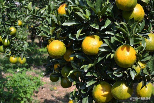椪柑果園(照片提供/蘇春蓮)