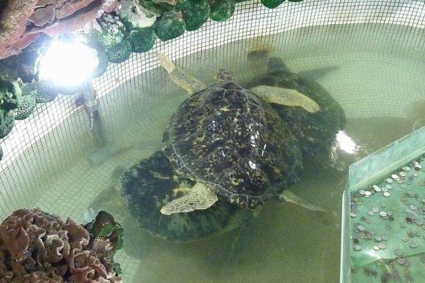 習性獨居的海龜被群養在狹小的水池內,身長均已超過1公尺,因環境惡劣造成 緊迫而相互攻擊(照片提供/動社)