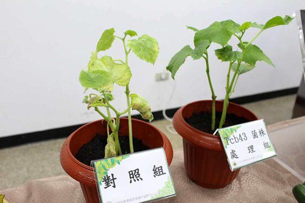 瓜類植株施用Tcb43菌株微生物製劑及未施用的對照(攝影/劉怡馨)
